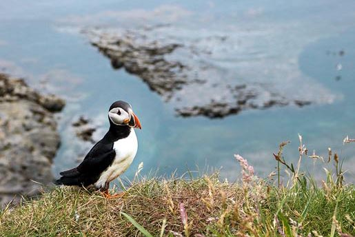 Puffin, Inner Hebrides